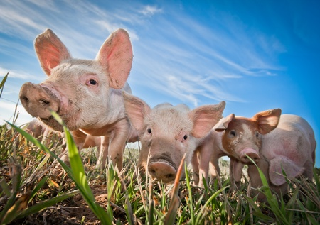 Three small pigs standing on a pigfarmの写真素材