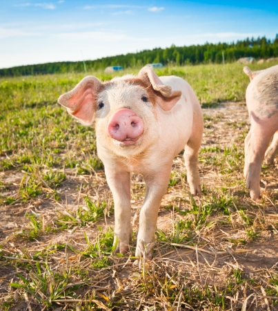 A baby pig on a pigfarm in Dalarna, Swedenの写真素材