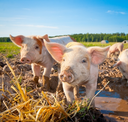 Two piglets standing on a field outside on a pigfarm in Dalarna, Swedenの写真素材