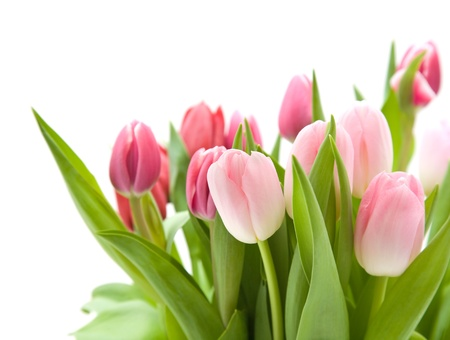 bunch of pink and red tulips isolated on white