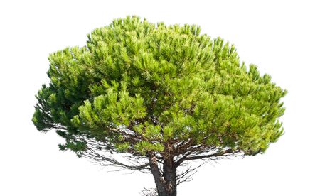 Stone Pine, Pinus Pinea, whole young tree isolated on white