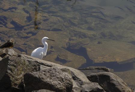 Little egret, Egretta garzetta, hunting in the marina of Las Palmas de Gran Canaria