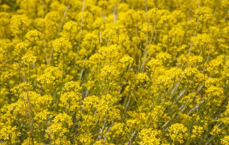 flora of Tenerife - Descurainia bourgeauana, mountain flixweed