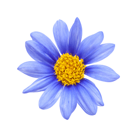 Photo for blue daisy bush  Felicia amelloides flower isolated on white - Royalty Free Image