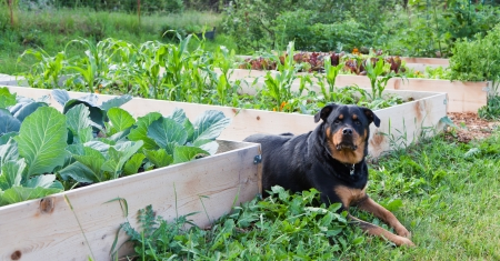 A female Rottweiler with a watchful expression lays between raised garden beds full of young healthy plants.