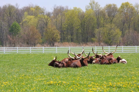 A herd of Longhorn Steers resting in the pasture.