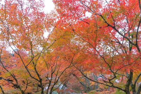 Red maple leaves or fall foliage in colorful autumn season near Fujikawaguchiko, Yamanashi. Five lakes. Trees in Japan with blue sky. Nature landscape background