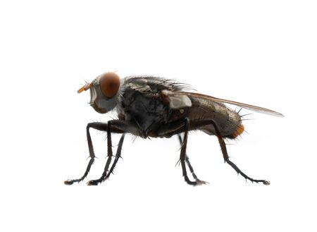 Photo for Close up of a fly with wings and legs isolated on white background. A black insect, Animal. - Royalty Free Image