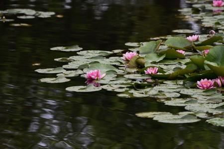 Photo pour Water lily flowers - image libre de droit