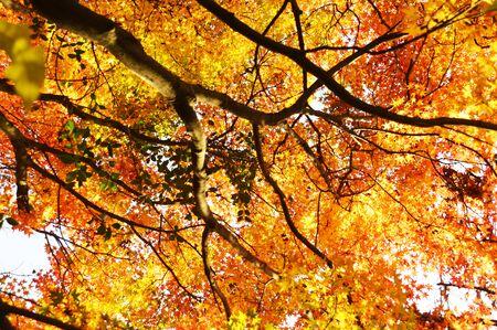 Photo pour Autumn Foliage Season / Late Autumn in Japan - image libre de droit