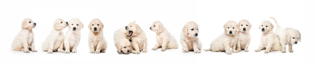 Foto de Serial of golden retriever puppies isolated - Imagen libre de derechos