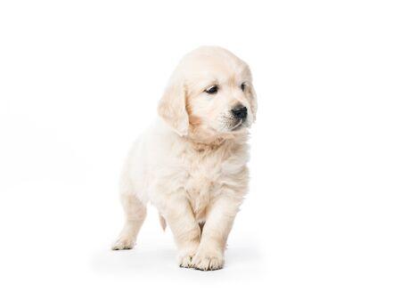 Photo pour Golden retriever puppy standing isolated - image libre de droit