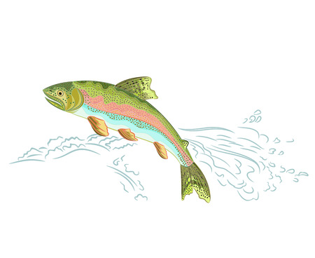 American rainbow trout jumps over the weir