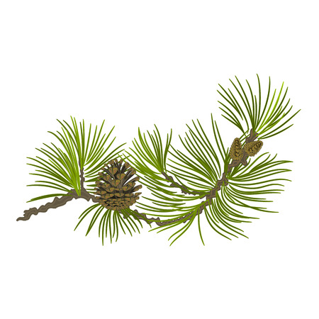 Branch of Christmas tree Pine branch whit pinecones vector illustration