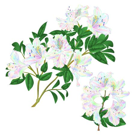 Illustration pour Branches colorful Rhododendron branch  flowers  mountain shrub on a white background set five vintage vector illustration editable hand draw - image libre de droit