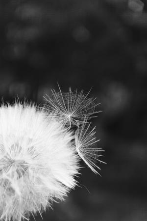Photo pour One White dandelion scatters, close-up on a dark background. Macro. Black and white, monochrome. - image libre de droit