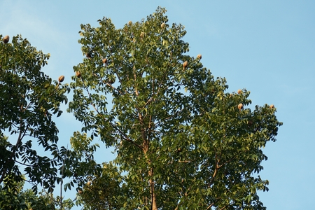 closeup mahogany tree with fruit on the top