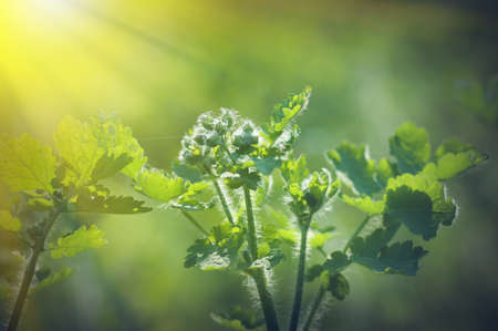Photo for spring background, green plant fresh leaves in nature, backlight illuminates the villi on the plant - Royalty Free Image