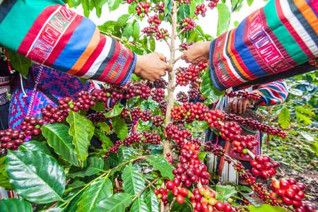 Foto für Tribe Akha farmer woman harvesting arabica coffee berries in the tree in organic farm. Akha village, Chiang Rai, northern region of Thailand. Close. Wide angle. Bright light. Summer season. - Lizenzfreies Bild