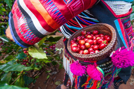 Foto für Akha farmer women harvesting arabica coffee berries in the tree in organic farm. Fresh coffee beans in beautiful wicker basket. Akha village, Chiang Rai, northern region of Thailand. Close. Bright sunlight. Summer season. - Lizenzfreies Bild