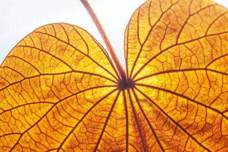 Foto de Abstract transparent Gold Leaf with beautiful texture on white background. The Gold Leaf (Bauhinia aureifolia) or Yan Da O is a rare vine, native distribution in South Thailand. Natural gold color leaf. Bright sunlight. Close up. - Imagen libre de derechos