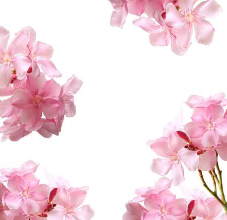 Photo for Collection of Oleander flowers for placing the product in the middle. Pink flower isolated on white background. - Royalty Free Image