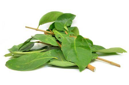 Daun Salam known as the Indonesian Bay Leaf