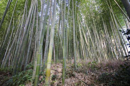 Photo pour Arashiyama Bamboo Forest famous place in Kyoto Japan - image libre de droit