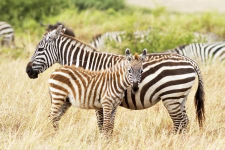 Photo pour Zebra foal with mother on the Masai Mara in southwestern Kenya. - image libre de droit