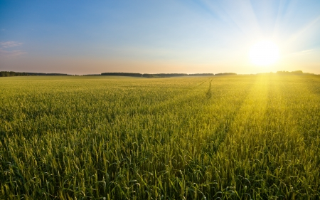 big field of  many green young wheat, on beautifull sunset