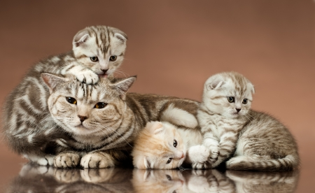 family group of three  beautiful kitten with mother, breed scottish-fold,  lie on brown  background