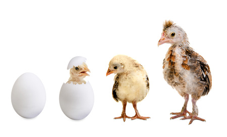 little nestling chicks  and white egg  on white background, isolated