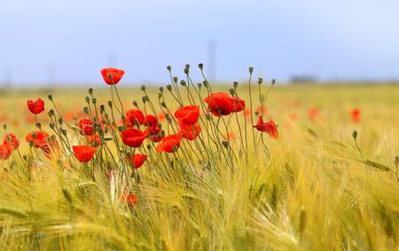 Foto de Photo of beautiful poppies blossoming in a meadow - Imagen libre de derechos