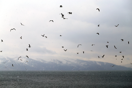 Photo for Beautiful spring landscape of a flock of seagulls on the background of lake Sevan - Royalty Free Image