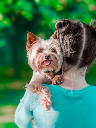 A young girl holding her pet Yorkshire terrier on her arms. A happy dog with tongue hanging out. Dog and human friendship