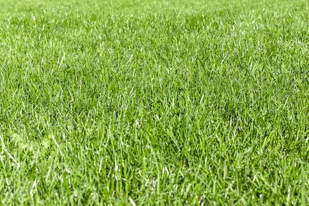 Photo pour Trimmed thick green grassy lawn background. Top view and side view. Focus on the center. - image libre de droit