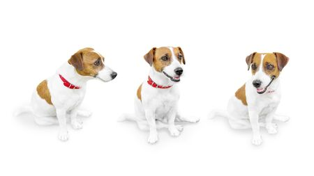 Photo pour Close-up portrait of cute small pet jack russell terrier.. Three sitting looking different sides dogs isolated on white background. - image libre de droit
