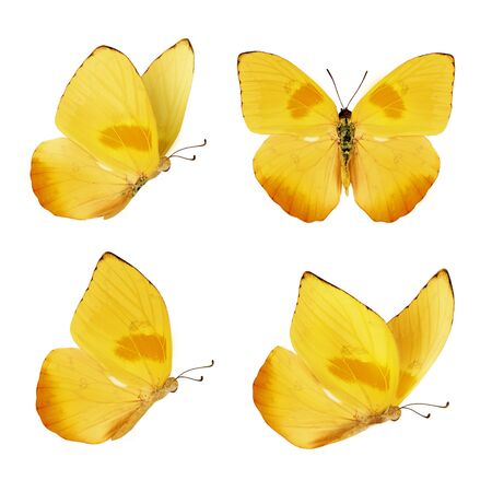 Photo pour Set of four beautiful yellow butterflies. Phoebis philea butterfly isolated on white background. Butterfly with spread wings and in flight. - image libre de droit