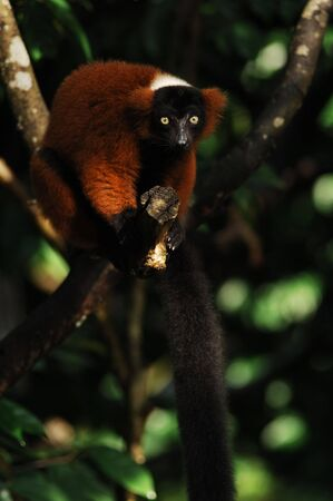 Red Ruffed Lemur (Varencia variegata rubra) at the tropical forest