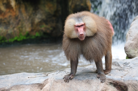 the hamadryas baboon scientifically known as papio hamadryas is a omnivorous primate and a sacred animal in ancient Egypt, Thoth attendant.