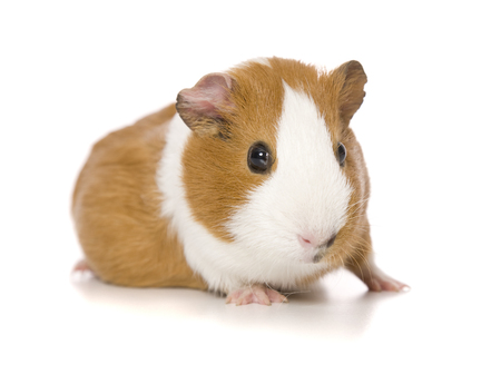 An adorable Guinea Pig portrait on white.の写真素材