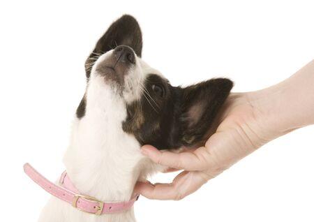 Photo pour A small puppy getting a scratch behind the ears. - image libre de droit