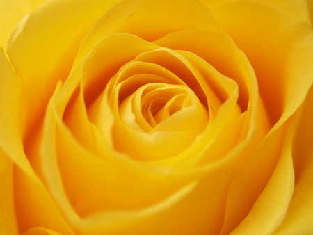 Photo for A rose Bud. Expanded yellow flower petals. Macro. - Royalty Free Image