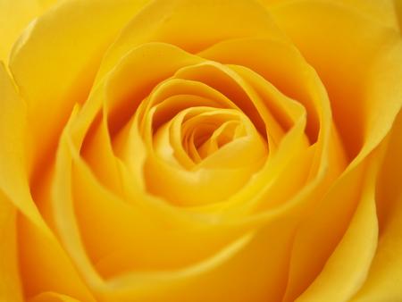Foto de A rose Bud. Expanded yellow flower petals. Macro. - Imagen libre de derechos