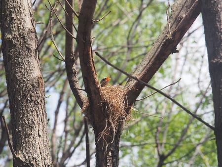 Blackbird sitting in a nest on the tree. Hatching a clutch of eggs. Wild bird.