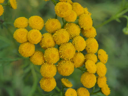 Photo pour Clusters of small round yellow tansy flowers. Close up. - image libre de droit