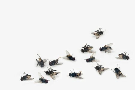 Photo for Dead house flies on white background - Royalty Free Image