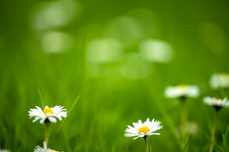 Foto de Daisy on blurred green grass background, very shallow DOF. The focus is on the daisy in center. - Imagen libre de derechos