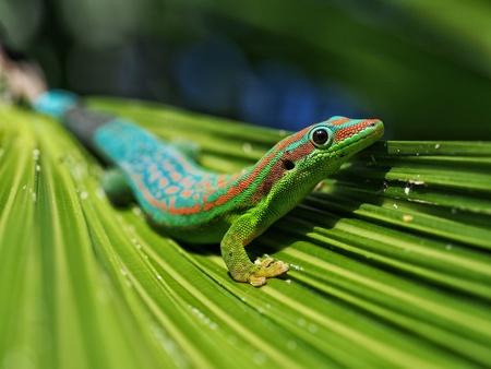 Day gekko in natural habitat