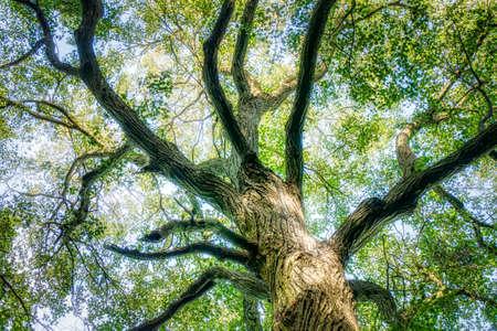 Foto de The Trunk of Old Linden Tree. Lower Angle of Linden Tree Foliage in Sunlight - Imagen libre de derechos